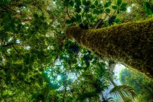 Monteverde tree