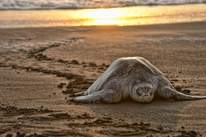 A turtle comes to shore to lay her eggs during an arribada at Playa Ostianal.  Photo by Lindsay Fendt