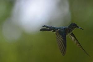 A hummingbird darts around in the forest in La Fortuna, Costa Rica.
