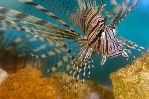 CRLionFish01
