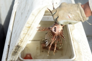 Fishermen toss a lionfish into a cooler after pulling it from a Nasa off the coast of Manzanillo National Wildlife Refuge. Nasas have proven so effective as lionfish traps that the United Nations Development Program recently donated money to develop a program using the traps to eradicate lionfish.